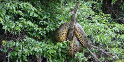 Sucuri gigante é flagrada por pescador em cima de árvore em rio de Porto Velho